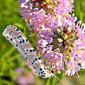 Bella Moth (Utetheisa ornatrix) on a Feay's Prairie Clover (Dalea feayi).jpg