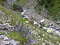 Bergblumen im Val Maisas - panoramio.jpg