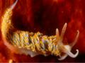Berghia coerulescens Italy.png