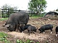 Berkshire pigs - geograph.org.uk - 578139.jpg