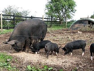 Berkshire pig - Image: Berkshire pigs geograph.org.uk 578139