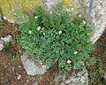 Berne botanic garden Corydalis ochroleuca.jpg