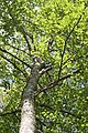 Betula from down to up.JPG