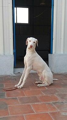 Rajapalayam Dog Wikipedia
