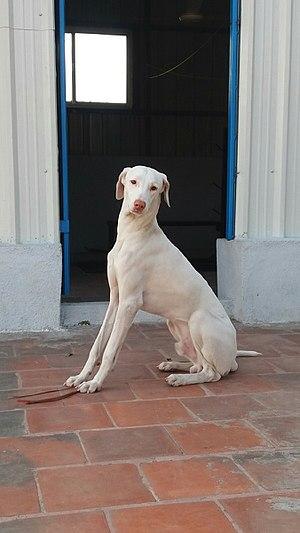 Rajapalayam dog - semi adult male rajapalayam
