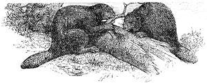 Eurasian beaver - Eurasian beaver