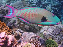 a large bright blue fish with its scales and tailfin outlined in red, swimming above intricate corals.