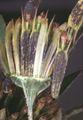Bidens frondosa var. frondosa2 eF.jpg