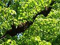 Bienenschwarm Mai 2010.jpg