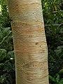 Birch trunk, Knightshayes Court - geograph.org.uk - 2586267.jpg