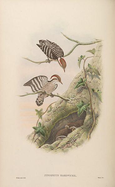 File:BirdsAsiaJohnGoVIGoul 0120.jpg