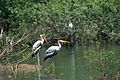 Birds at Vedanthangal Bird Santuary.jpg