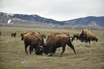 English: Two bison are fighting in Grand Teton...