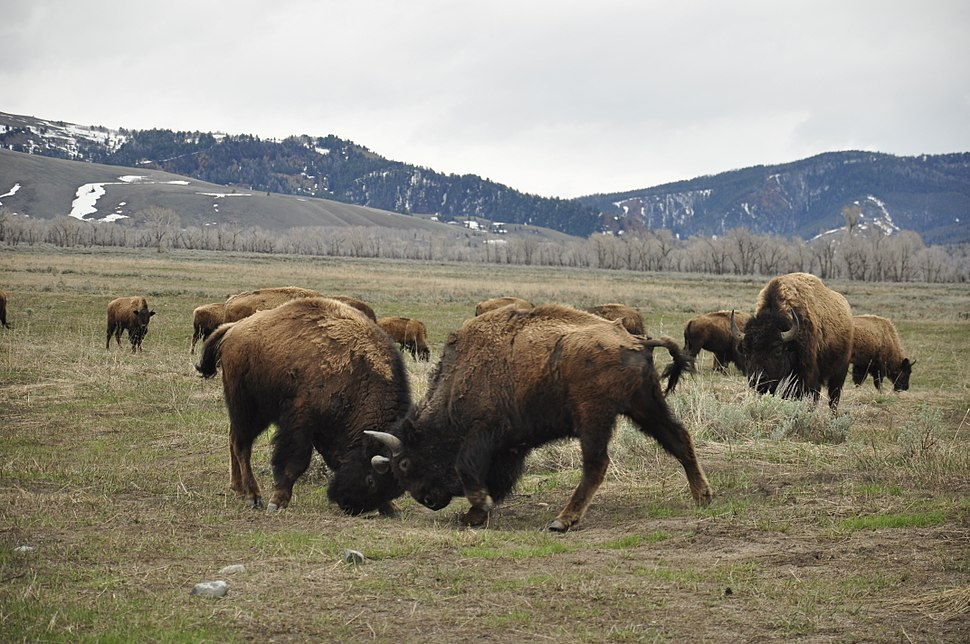 Bison fight in Grand Teton NP