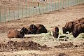 Bison herd at Genesee Park-2012 03 10 0602.jpg