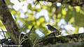 Black-and-white Warbler, Costa Rica, January-February 2018 (39338939485).jpg