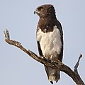 Black-chested snake eagle (Circaetus pectoralis) at Pilanesberg National Park, South Africa. (29993451987).jpg