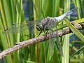 Black-tailed Skimmer. Orthetrum cancellatum. Mature male - Flickr - gailhampshire.jpg