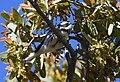 Black-throated Gray Warbler (33856636672).jpg