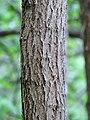 Black Locust (33617443054).jpg