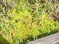 Black Moshannon State Park Spagnum Moss.JPG
