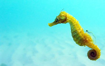 Seahorses rely on stealth to ambush small prey such as copepods. They use pivot feeding to catch the copepod, which involves rotating their snout at high speed and then sucking in the cope pod. Black Sea fauna Seahorse.JPG