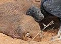 Black Vulture (Coragyps atratus) scavenging on a dead Capybara (Hydrochoerus hydrochaeris) - Flickr - berniedup.jpg