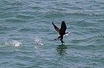 Black and White Cormorant (31103164282).jpg