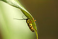 Black and Yellow Longhorn Beetle 003.JPG