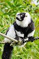 Black and white Ruffed Lemur (22383437469).jpg