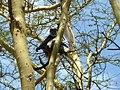 Black and white monkey.Lake Nakuru National Park. Черно-белая обезьяна - panoramio.jpg