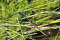 Black darters (Sympetrum danae) tandem in flight.jpg