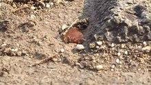 File:Blackants-bredcrust-tokyo-may2015.webm