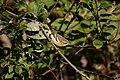 Blackburnian Warbler (Setophaga fusca) (5055194747).jpg