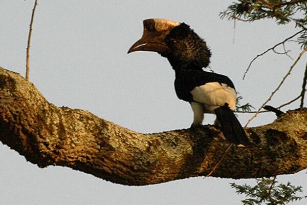 Blackwhitecasquedhornbill1
