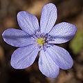 Blaue Blume.jpg