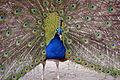 Blauwe pauw (8705784990).jpg