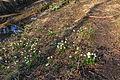 Bledule jarní v PR Králova zahrada 57.jpg