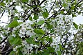 Blossoms (158490893).jpeg