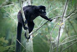 Blue-Eyed Black Lemur.jpg