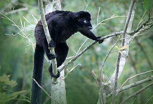 The World's 25 Most Endangered Primates - Eulemur flavifrons