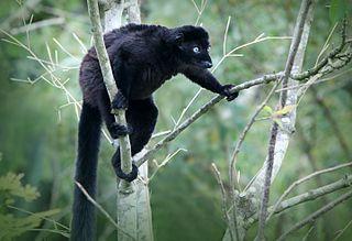 Blue-eyed black lemur Species of true lemur