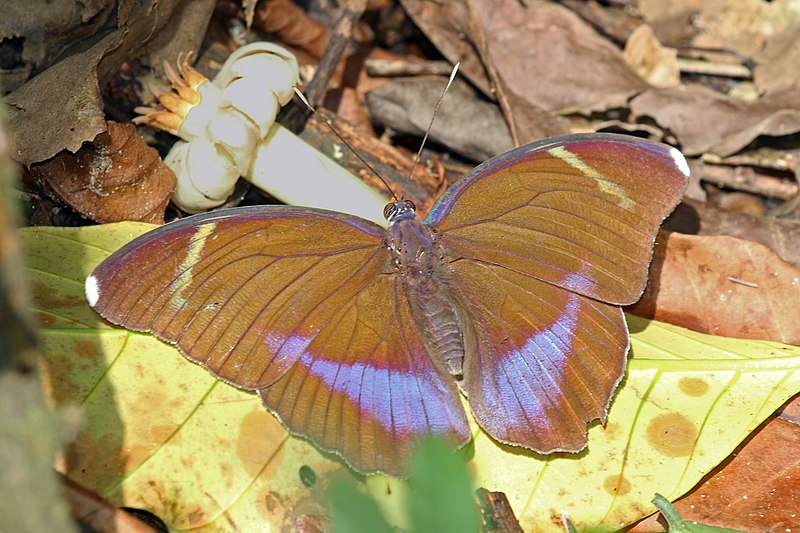Bộ sưu tập cánh vẩy 5 - Page 14 800px-Blue-banded_forester_%28Euphaedra_harpalyce_harpalyce%29_female