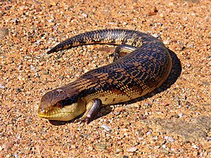 Squamata - Eastern blue-tongued lizard