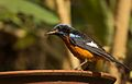 Blue Capped Rock Thrush.jpg