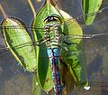 Blue Emperor. Anax Imperator. head detail - Flickr - gailhampshire.jpg