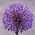 Blue Flower (156889337).jpeg