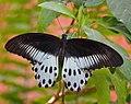 Blue Morman, Papilio polymnestor (8586043032).jpg