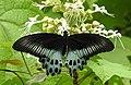 Blue Mormon Papilio polymnestor by Dr. Raju Kasambe DSCN0783 (13).jpg