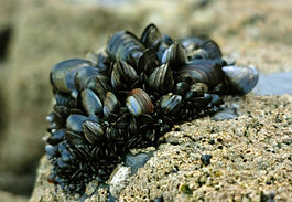 Blue mussel clump.jpg